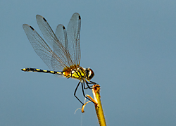 DSC0439_Dragonfly.png