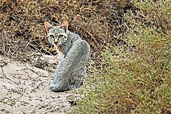 DSC1617_African_wildcat_10_inch_crop.jpg