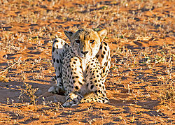 DSC5654_cheetah_laying_Tswaro_5x7.jpg