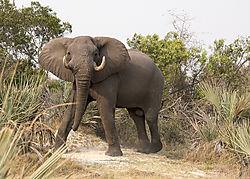 DSC6402_bull_elephant_color_5x7.jpg