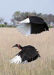 DSC7357_flying_hornbills_5x7_portrait.jpg