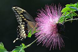 DSC_0018_giantSwallowtail.jpg
