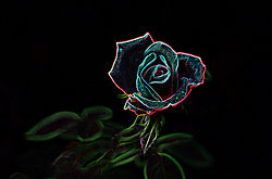 DSC_3630_rose_2_1200.jpg
