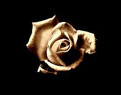 DSC_3630_rose_3_1200.jpg