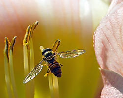 DSC_5769_Hoverfly_on_day_lily_unsharpened.jpg