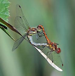 DSC_6218_Dragonflies_coupled.jpg