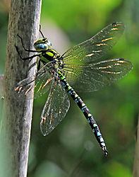 DSC_6255_Dragonfly_sp_.jpg