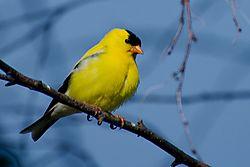 DSC_6706_yellow_finch_-0002_gold_finch_80-0001.jpg