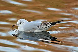 DSC_6827_Black-headed_Gull_juvenile_.jpg