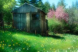 Daffodil_Hill_-_April_2008.jpg