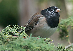 Dark-eyed_Junco.jpg