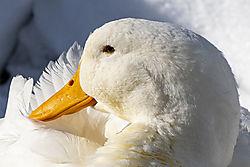 December_27_2020_Duck.jpg