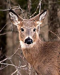 Deer-Portrait.jpg