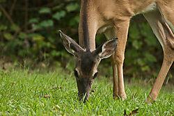 Deer03.jpg