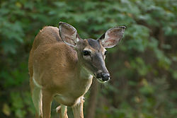 Deer04.jpg