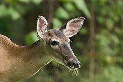 Deer05.jpg