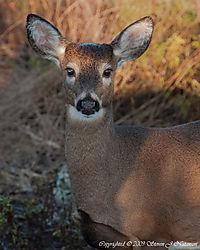 Deer11.jpg