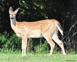 Deer14.jpg