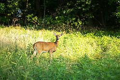 Deer_20190730_18400326_19C_0766.jpg