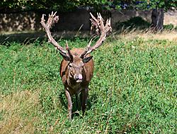 Deer_Bushy_Park_5.jpg