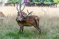 Deer_Bushy_Park_8.jpg
