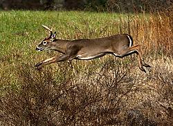Deer_Leaping.jpg