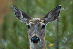Deer_full_face_.jpg