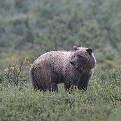 Denali_Grizz_21.jpg