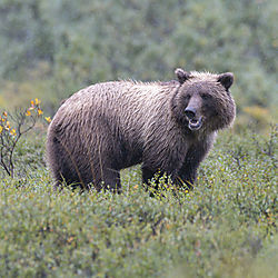 Denali_Grizz_3.jpg