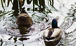 Diving_Duck.jpg