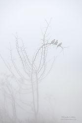 Doves_in_Fog_2_San_Joaquin_Valley.jpg