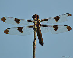 Dragonfly26.jpg