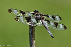 Dragonfly_6-0418.jpg