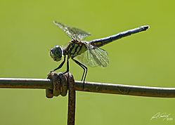 Dragonfly_Stripes.jpg