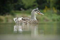 Duck17.JPG