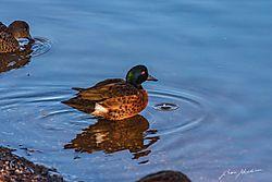 Duck_-1158.jpg
