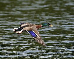 Duck_in_Flight.jpg