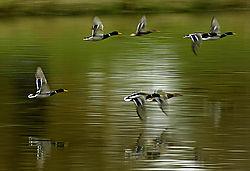 DucksCZ11266B-11x7_5.jpg