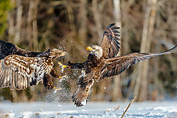 Dueling_Eagles_Pictou_NS_ISO_500_600mm_F6_3_1-1250sec.JPG