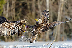 Dueling_Eagles_Pictou_NS_ISO_500_600mm_F6_3_1-1250sec1.JPG