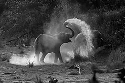Dusting-elephant_for-web.jpg