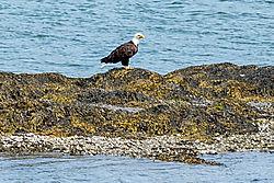 Eagle30.jpg