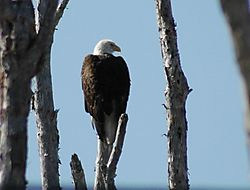 Eagle_1.JPG