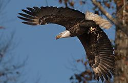 Eagle_24.jpg