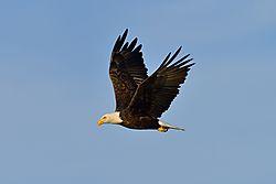 Eagle_25.jpg