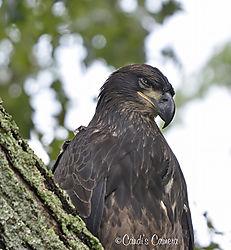 Eagle_Ft_Donelson_1_Nikonians.jpg