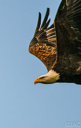 Eagle_In_Early_Morning_Sun_.jpg