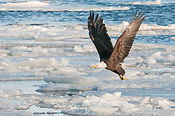 Eagle_Landing_on_the_Mississippi_River.jpg
