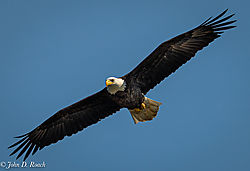 Eagle_Soaring_over_the_James_River-1.jpg