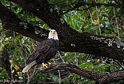 Eagle_along_the_James_River-64.jpg